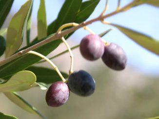 Oliven am Baum - goodstuff AlpeAdria - © Gustav Schatzmayr
