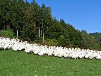 Bio-Weidegänse erkunden ihr Revier - goodstuff AlpeAdria